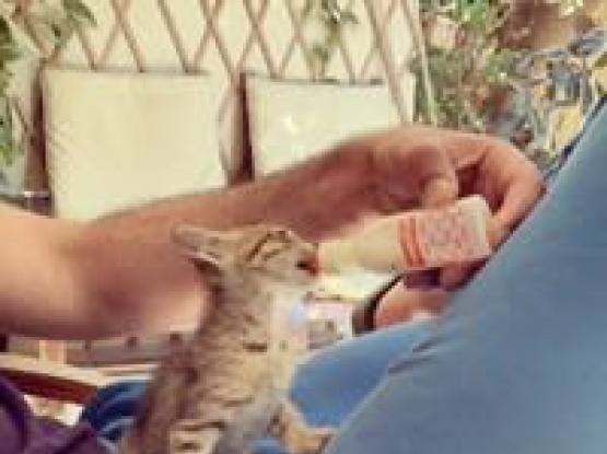 Kitten For Adoption