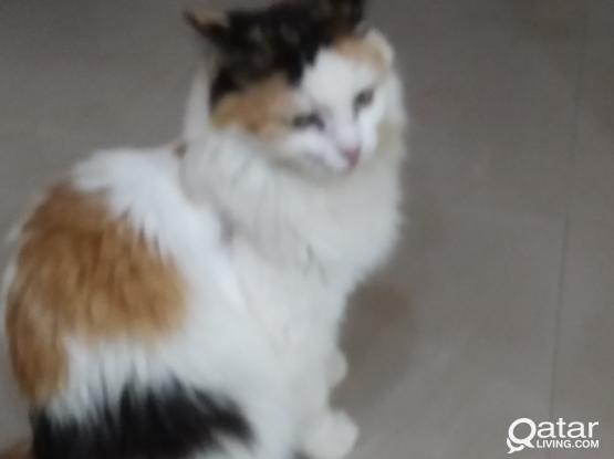 Persian cat and kittens for sale