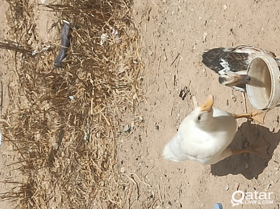 Ducks one pair 50 riyal with cage