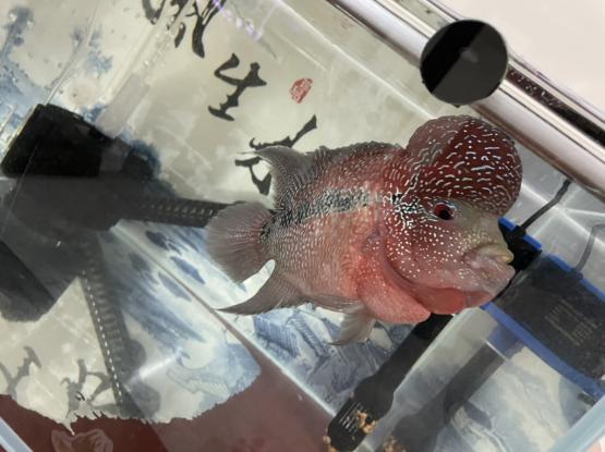 Aquarium Fish Flower Horn For Sale