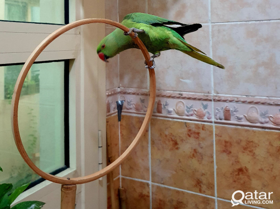 Friendly Indian green parrot with Cage