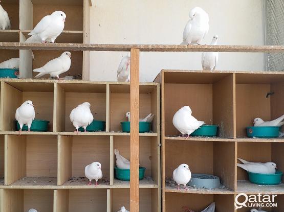 White Pigeon Pair 100/-Qrs