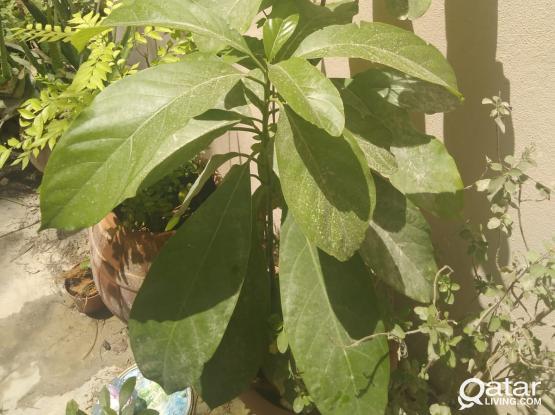 Avacado plant for sale