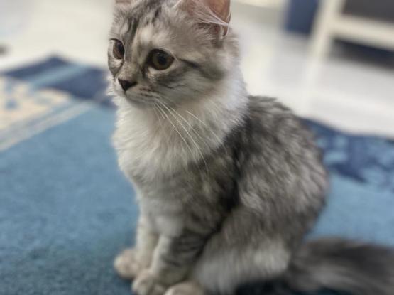 4 Months Female Kitten