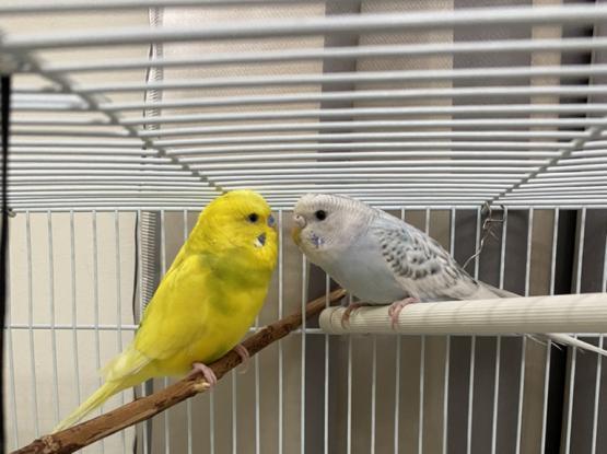 Pair of Budgies (birds)