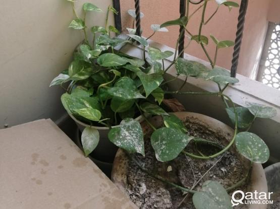 Money plant & Tulsi plant