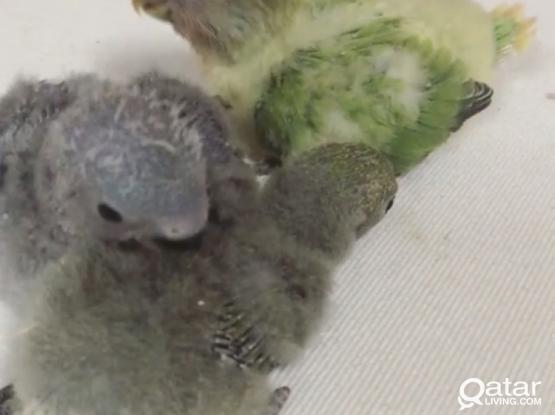 Beautiful Love Bird Babies