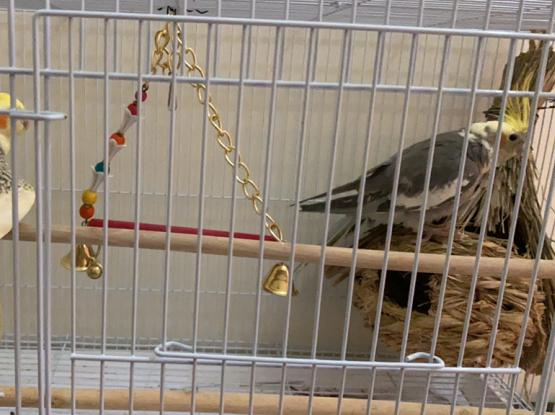Cockatiel Pairs With Cage n Food