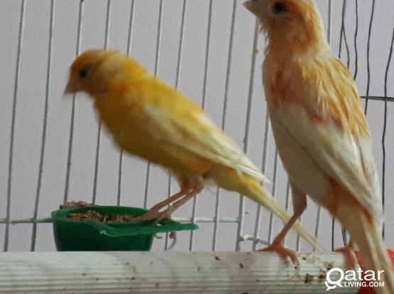 breeding canary pair bird with egg for sale