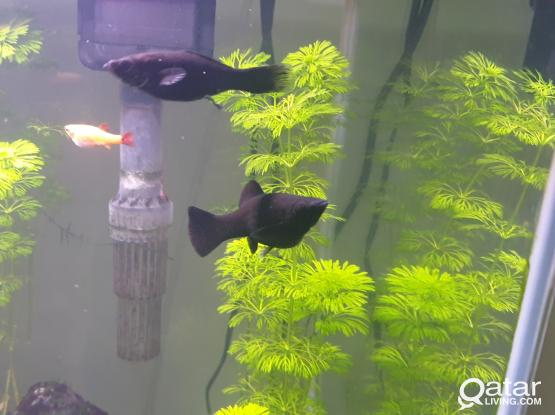 Black Molly Fish