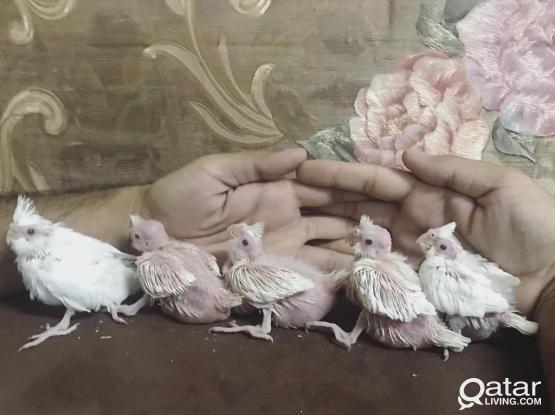 Beautiful Cockatiel babies