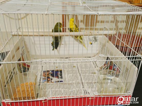 Beautiful budgie pair for sale.