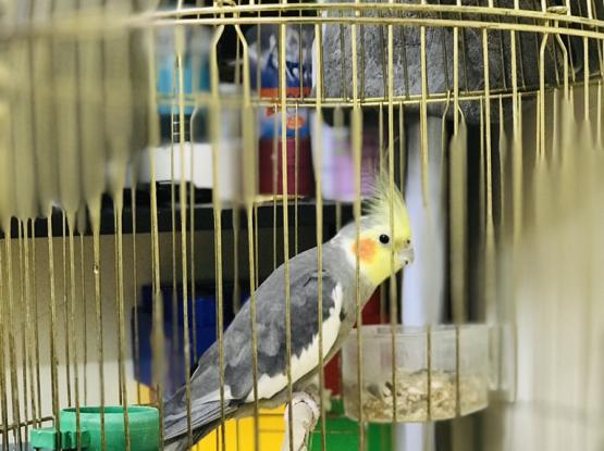 Male cocktail bird for sale