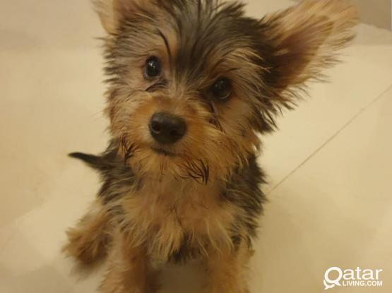Yorkshire puppy (dog)