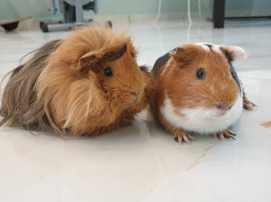 2 Guinea Pigs - qar99 each
