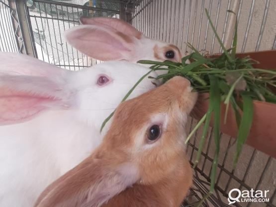 Healthy 04  Cute Big-rabbits with SS cage