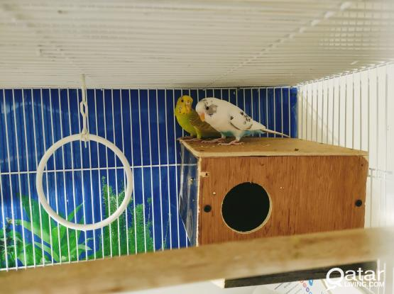 Beautiful budgie pair for sale