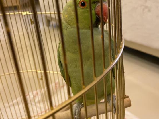 Indian Redneck Parakeet (female)