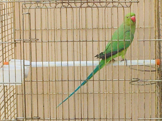 Indian ring parrot