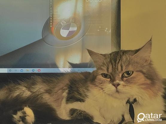 Female Shiraz cat for sale