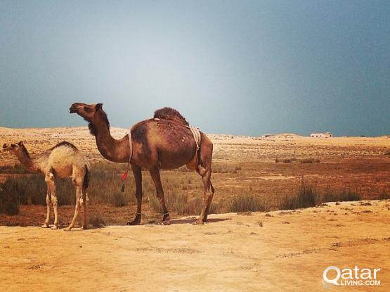 Qatar – North Of the Desert