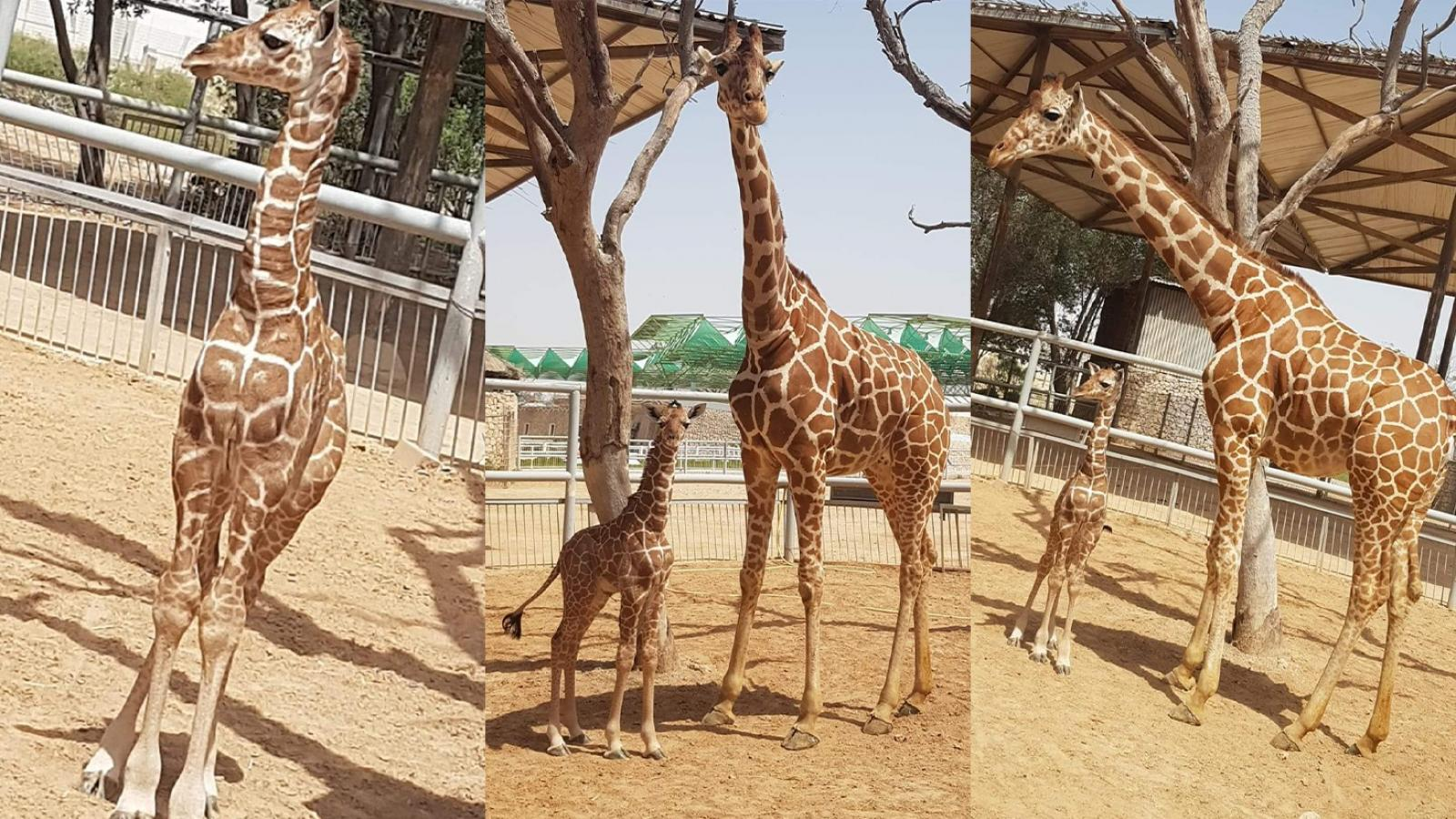 Doha Zoo witnessed the birth of a giraffe on April 8