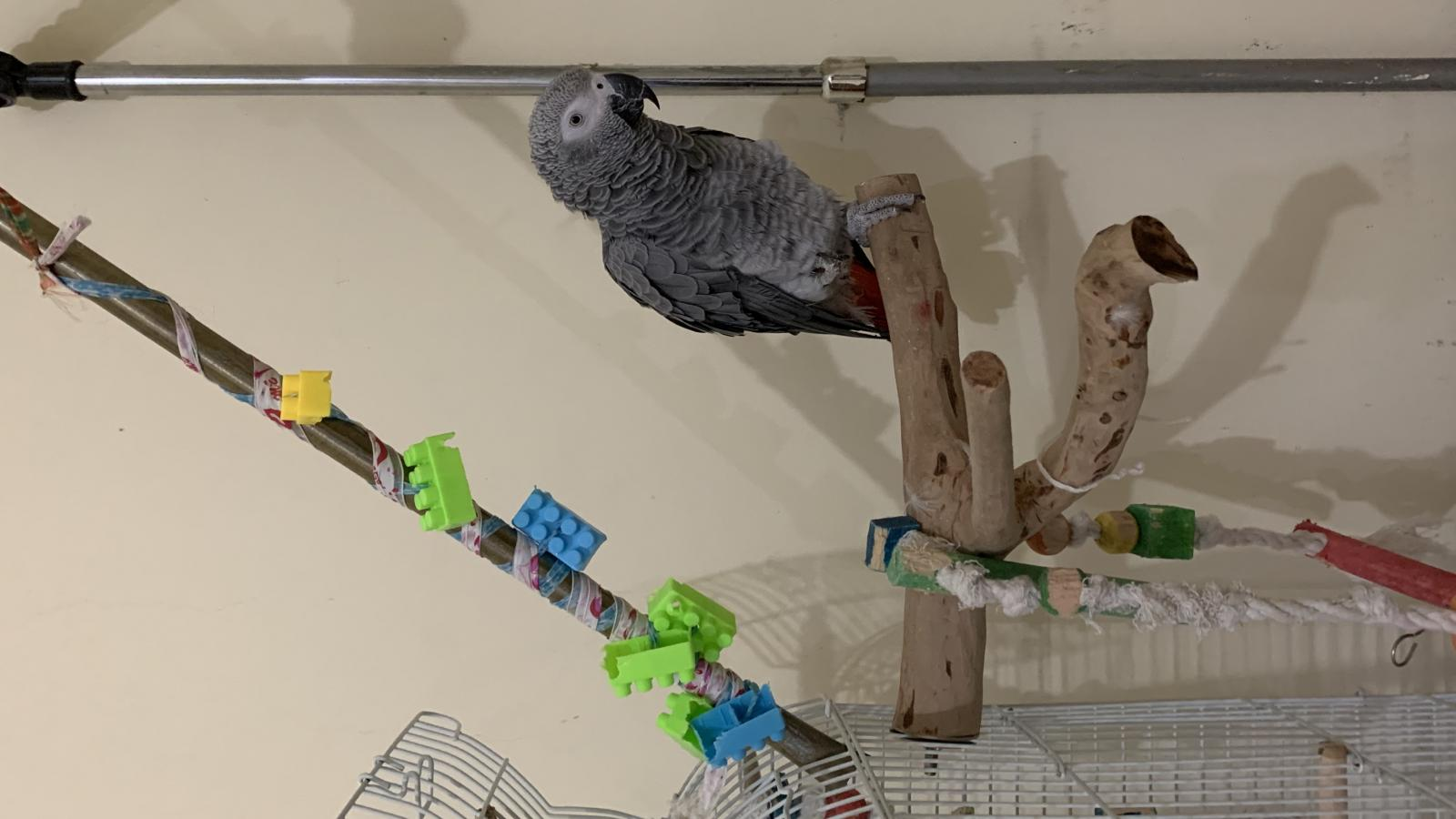 Lost African grey parrot 7:25pm 15 June 2020
