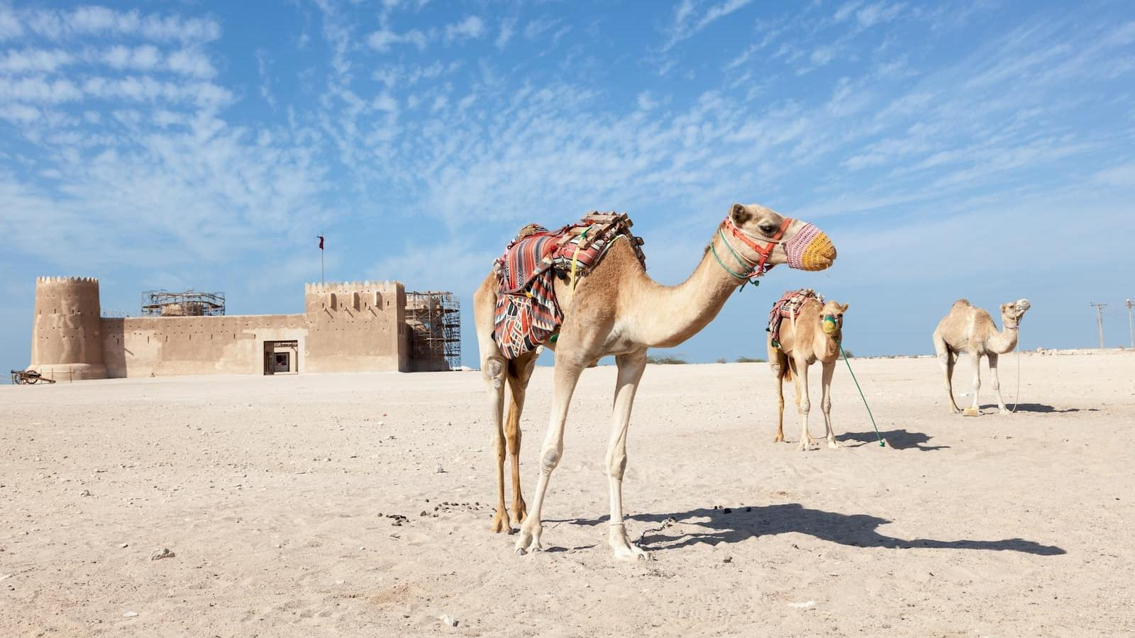 20 things to know about camels in Qatar