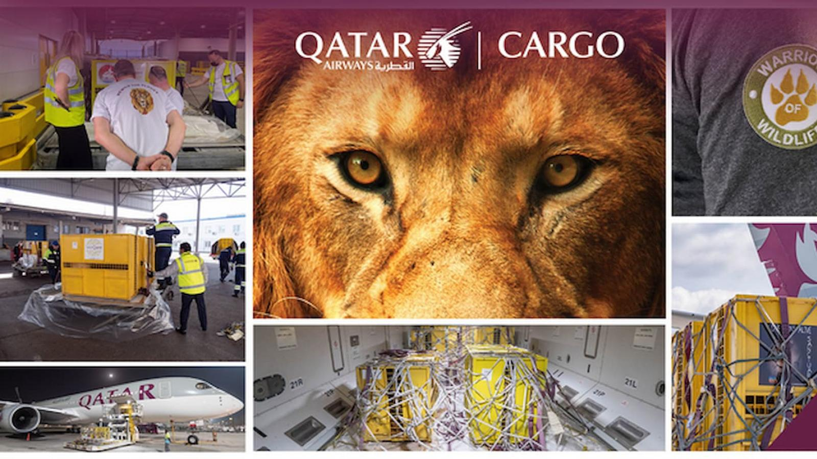 Qatar Airways Cargo returns rescued lions to their natural habitat for free
