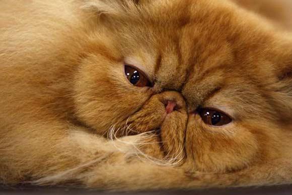 Best Cat Litter For Persian Kitten