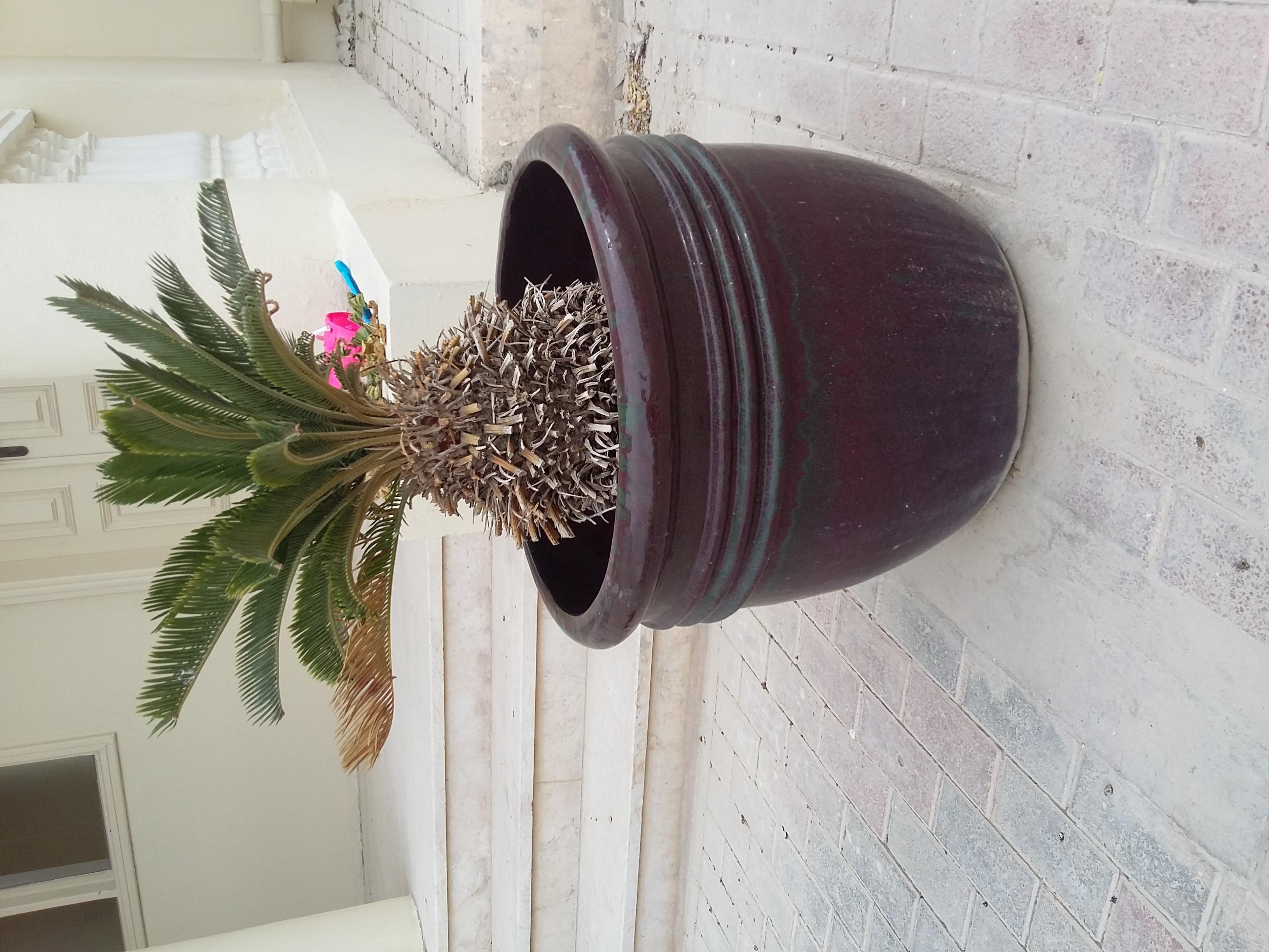 miniature trees in large pots