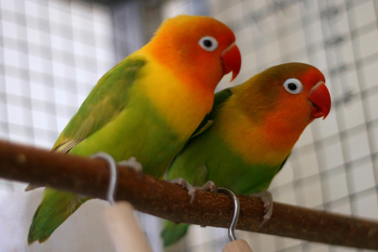 BIG CAGE WITH 12 LOVE BIRDS FOR SALE | Qatar Living