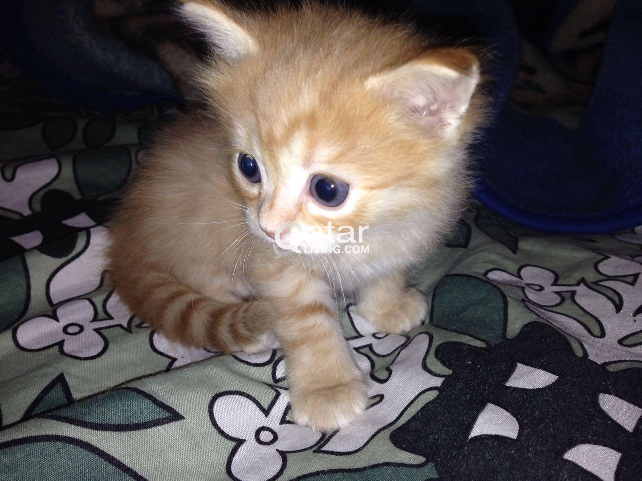 Persian kittens for sale | Qatar Living