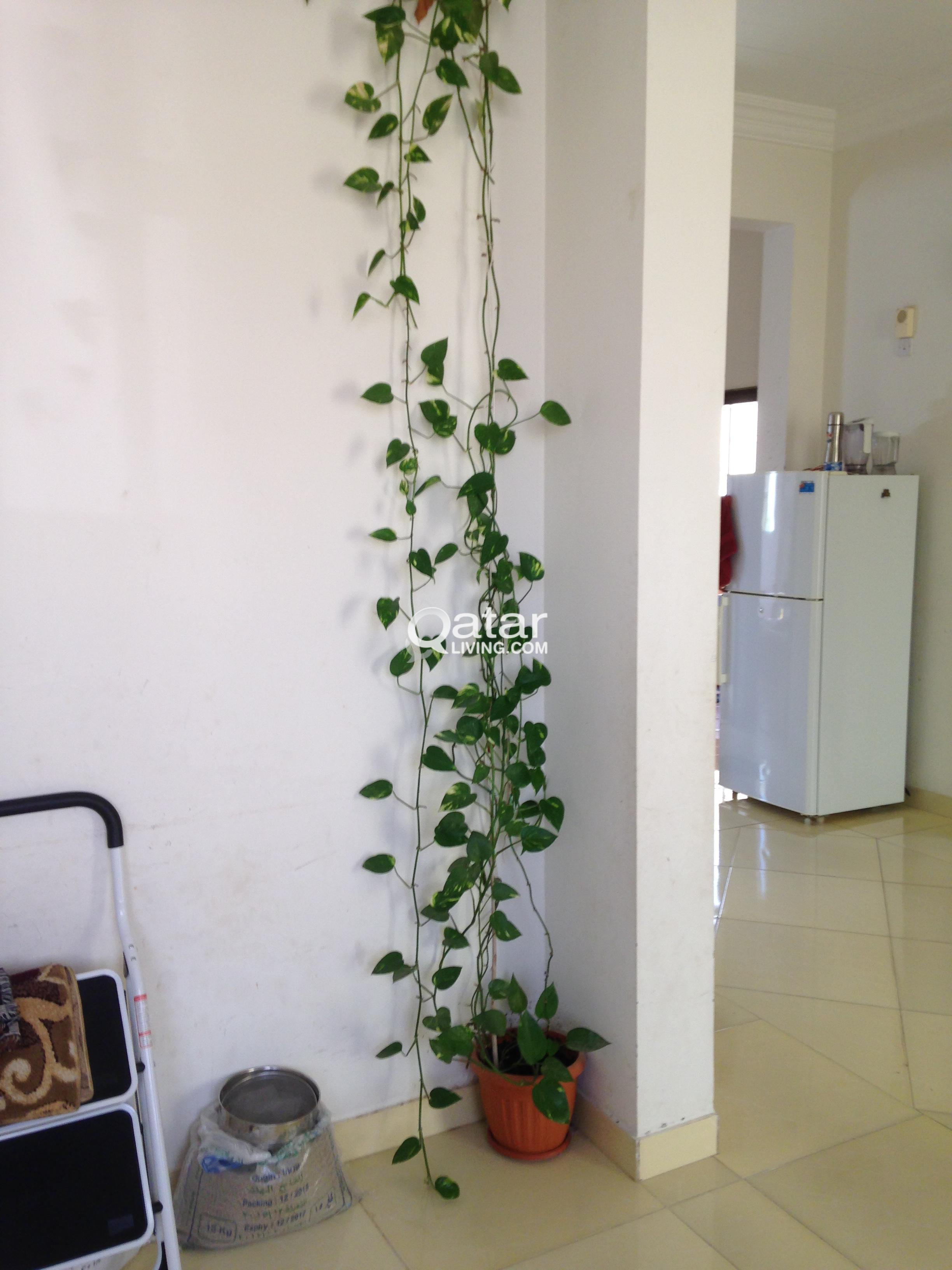 Money Plant In Living Room - Living Room Ideas
