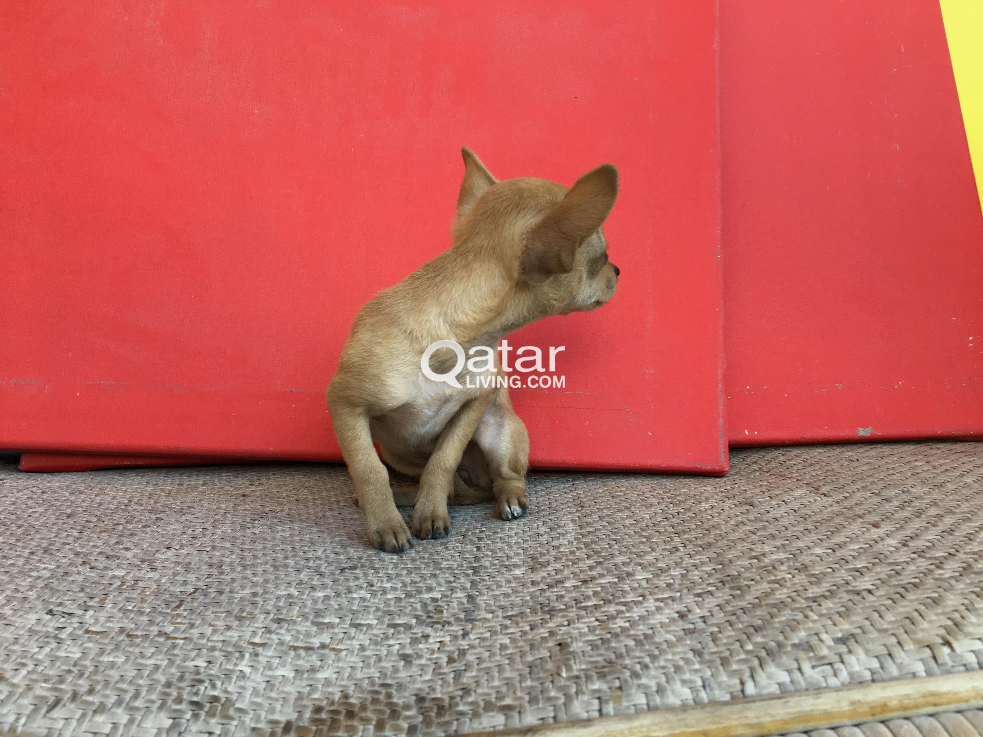 Dog Mini Chihuahua (Teacup)   Qatar Living