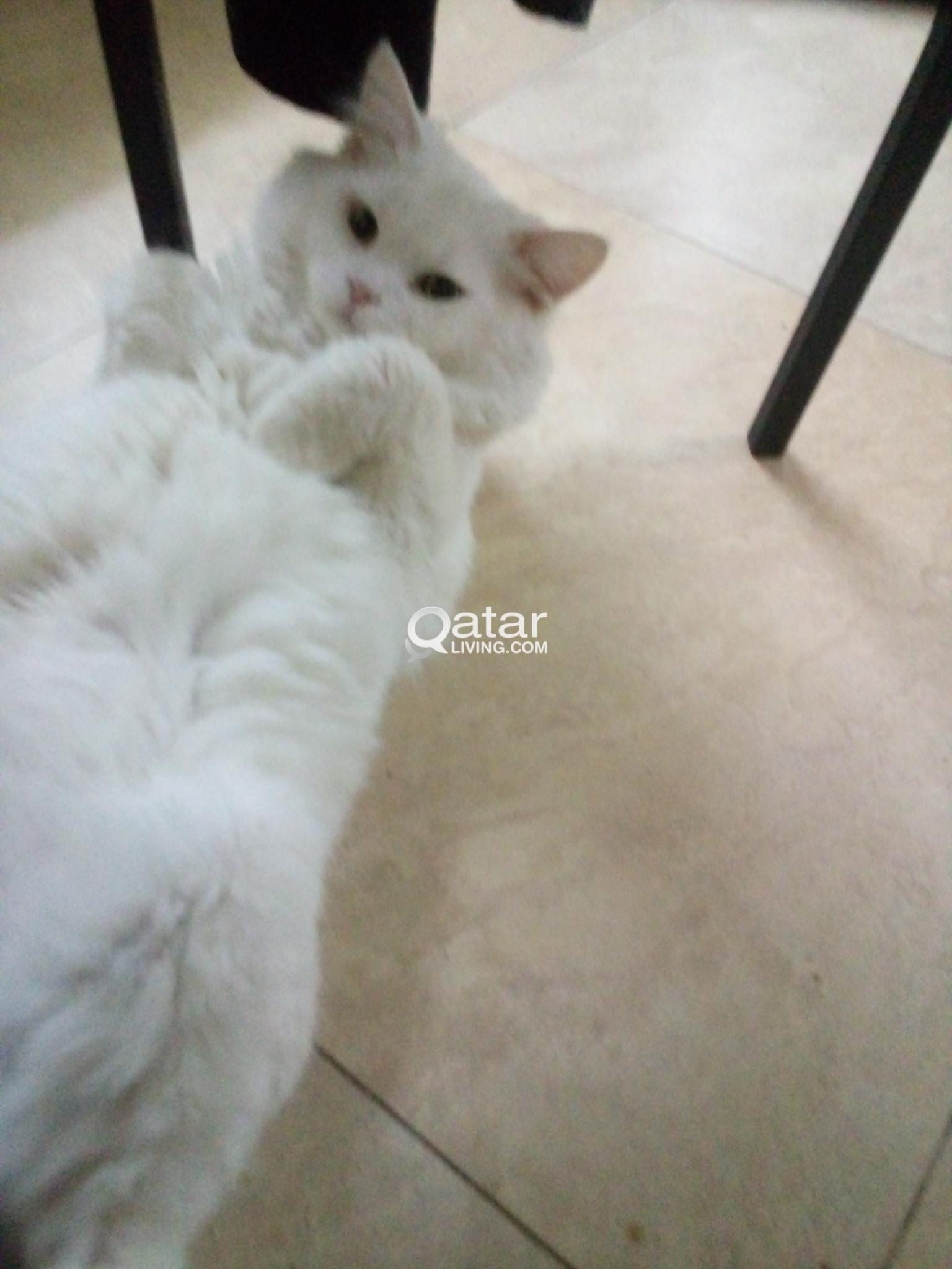 08ed25bdb8 2 years old male turkish angora cat for sale
