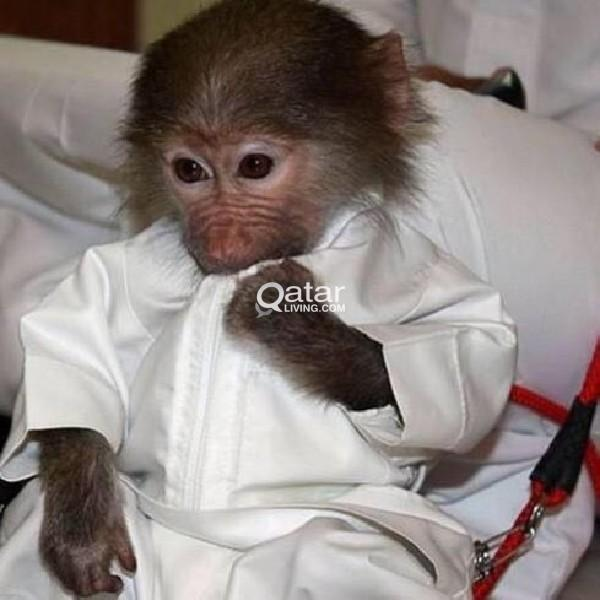 Monkey for sale 6months female