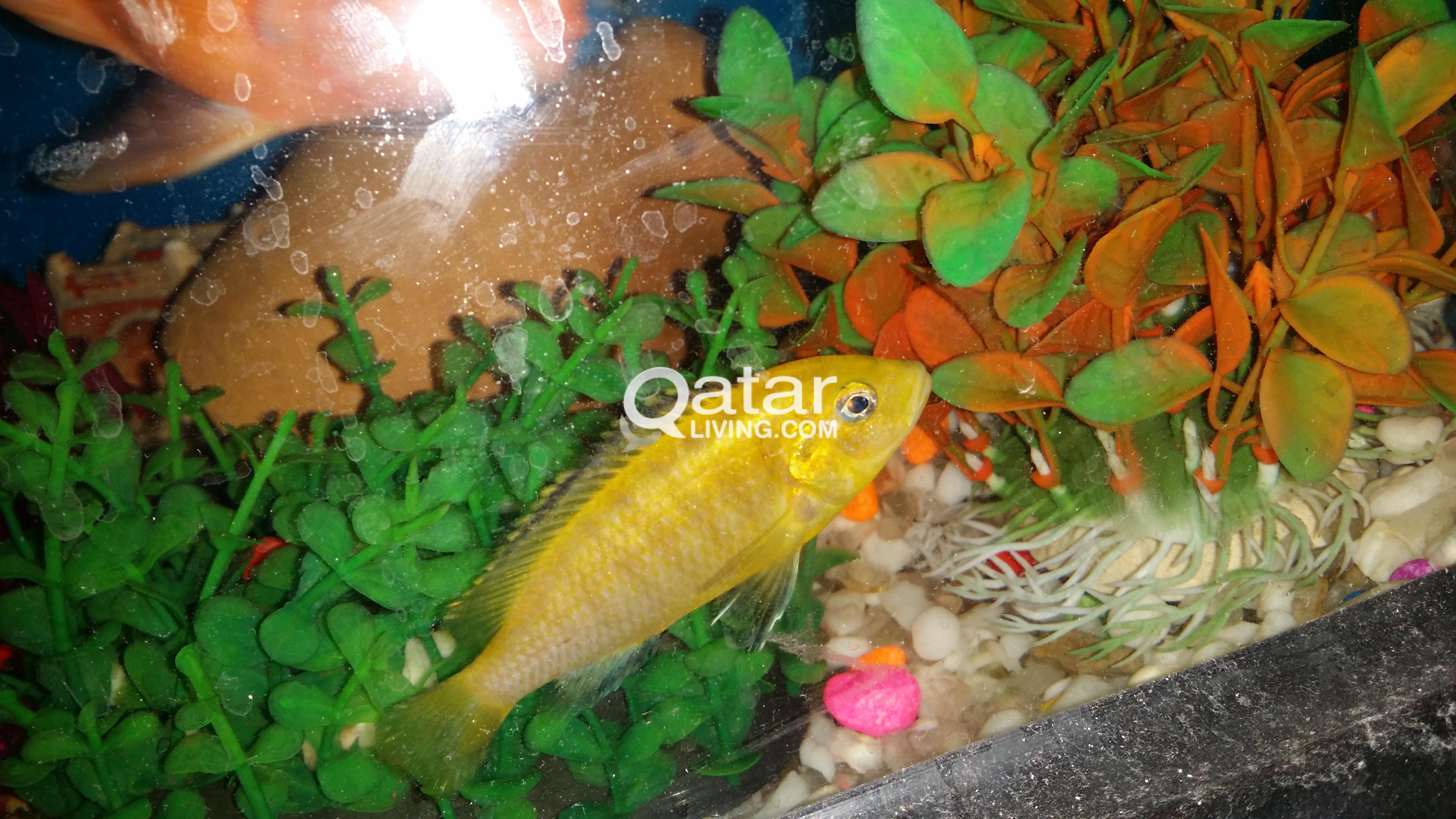 Aquarium Cichlid Fish Qatar Living
