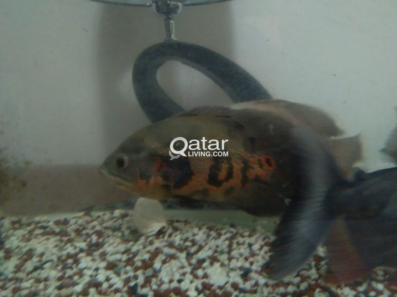 For Sale Piranha fish & Oscar fish | Qatar Living