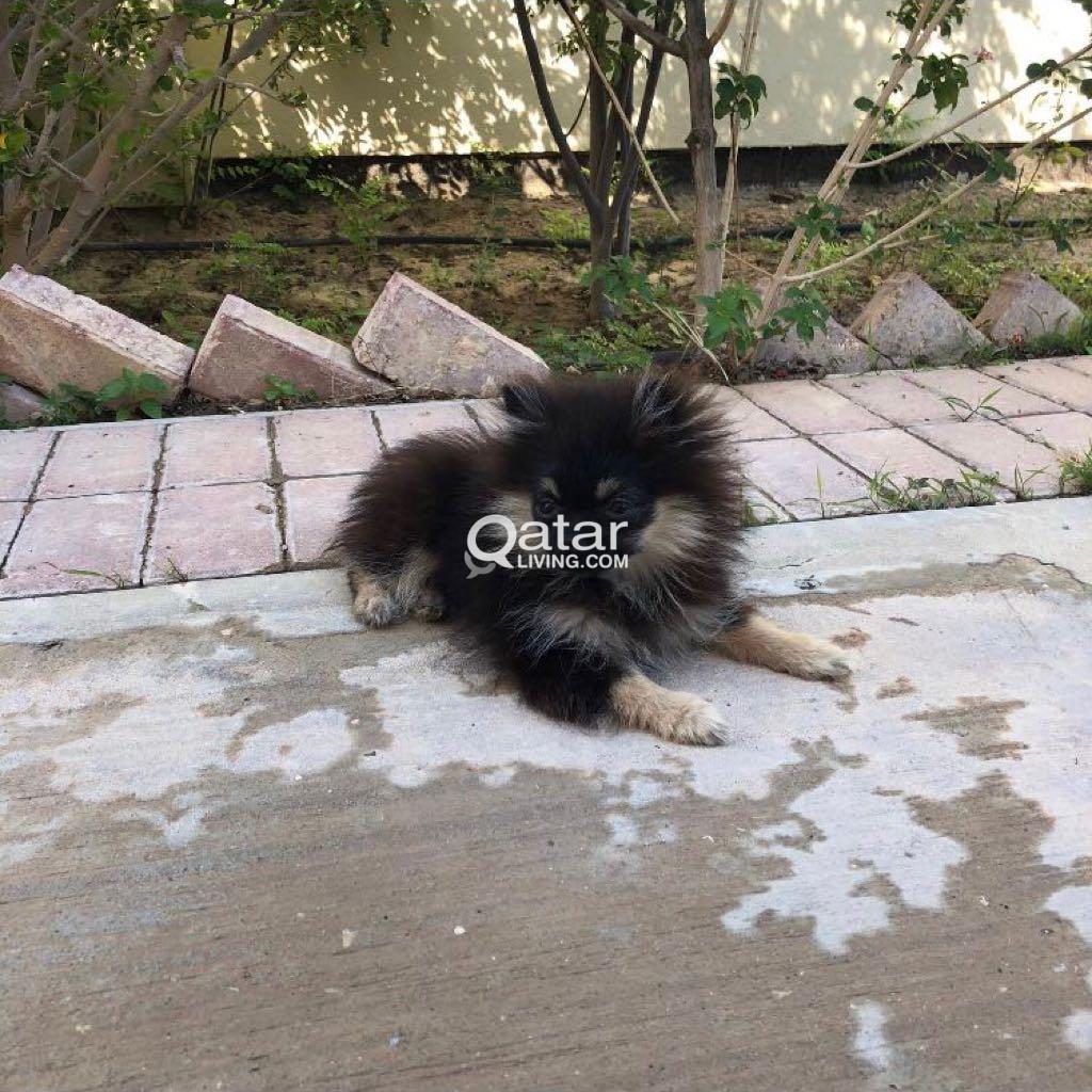 pomeranian teacup puppy for sale   Qatar Living