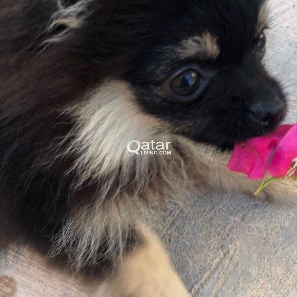 pomeranian teacup puppy for sale | Qatar Living