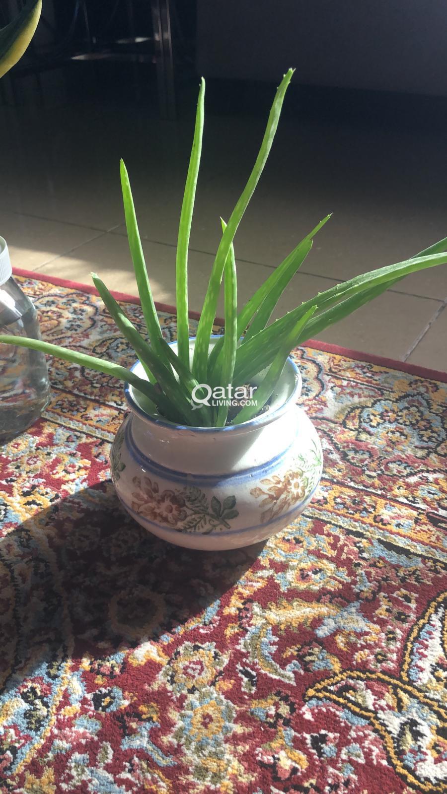 Where To Buy Aloe Vera Plant In Qatar - Plantă Blog