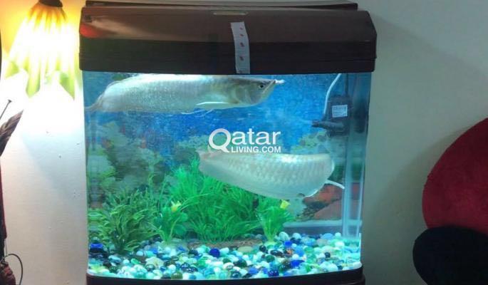 Aquarium With Arwana Fish Qatar Living