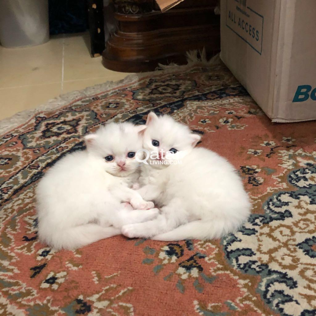 shirazi persian cat
