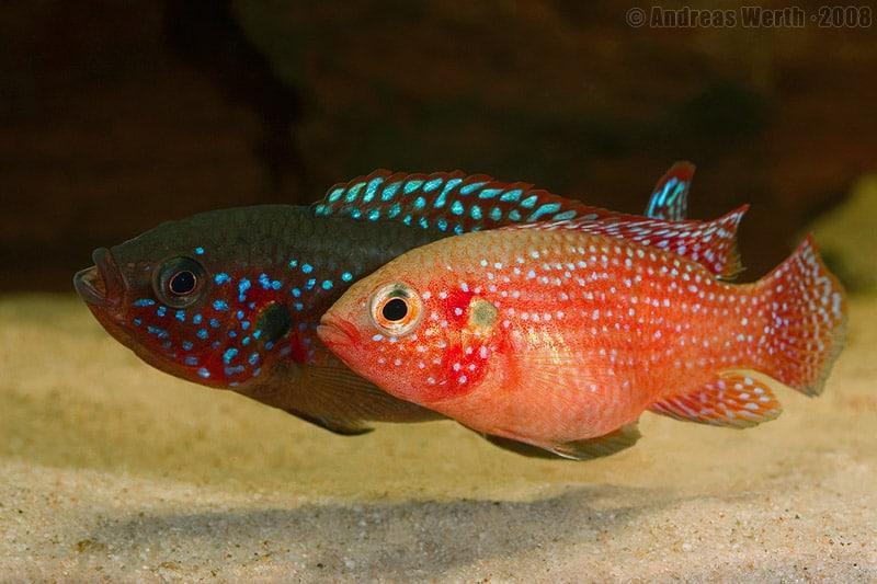 Red Jewel pair Aquarium Fish