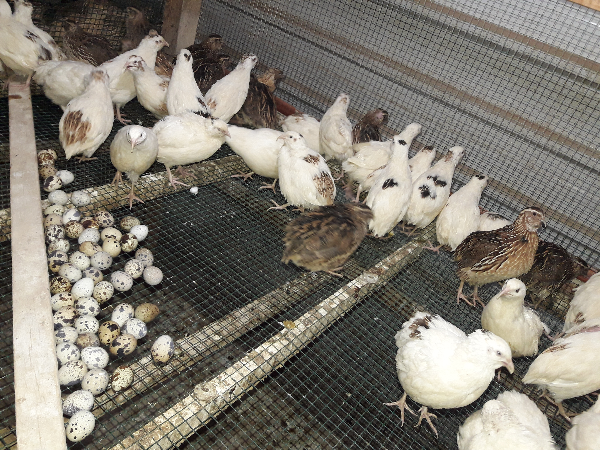Chicken, Quail and duck eggs available @ 3034 8147