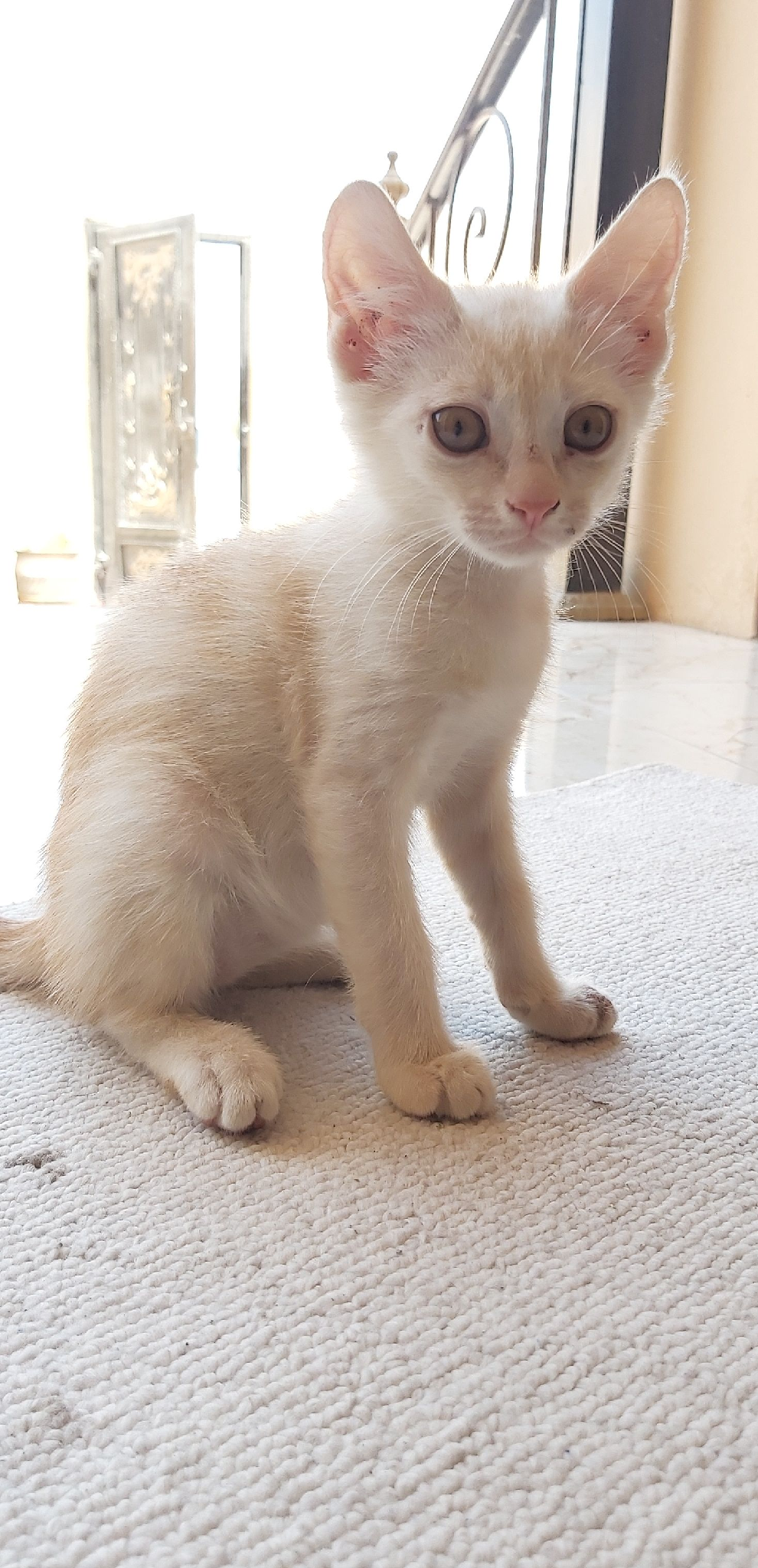 Persion mix kittens for sale
