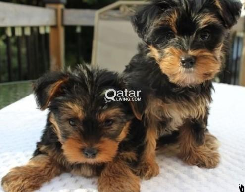 Teacup Male and Female Yorkie Puppies for adoption | Qatar