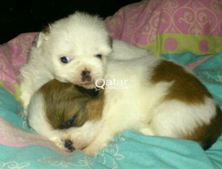 Friendly, Playful and Beautiful Shih Tzu puppies for Sale