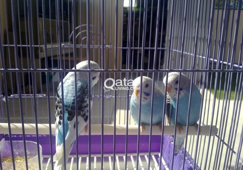 Baby Budgies birds for sale | Qatar Living